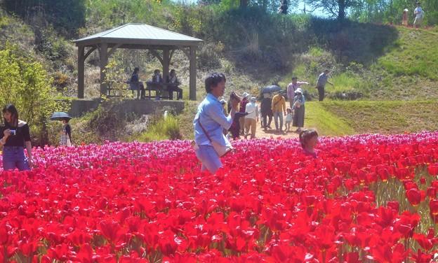 令和元年5月3日のチューリップ畑@世羅高原