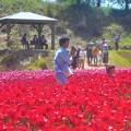 Photos: 令和元年5月3日のチューリップ畑@世羅高原
