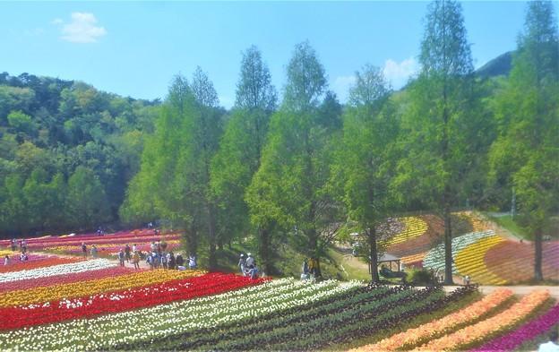 新緑のチューリップ畑@世羅高原農場