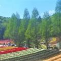 Photos: 新緑のチューリップ畑@世羅高原農場
