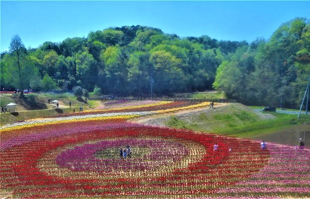 初夏のチューリップ祭2019@世羅高原農場