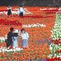 Photos: GWの世羅高原の花絵@チューリップ祭2019