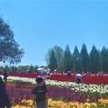 Photos: GW&憲法記念日のチューリップ畑@世羅高原農場