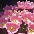 桃色のチューリップたち@世羅高原農場