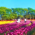 風薫る5月のチューリップ畑@世羅高原