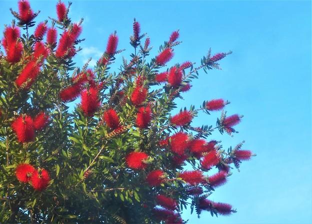 風薫る5月の空に ブラシノキが満開@びんご運動公園(登り道)