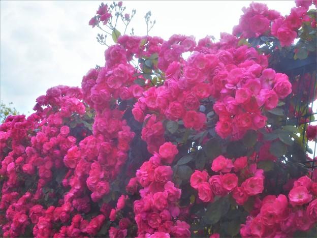 赤いばらアンジェラが満開@福山ばら公園