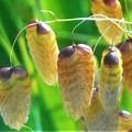 新緑に咲く 小判草(コバンソウ)の花