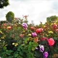 大輪の薔薇 ブルーナイルなど@福山ばら祭2019
