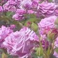"Photos: 新緑の薔薇 ""福山城""@福山ばら公園"