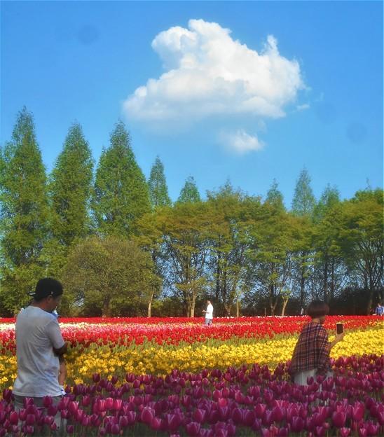 新緑の チューリップ畑@世羅高原農場