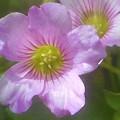 Photos: 庭に咲く花 ムラサキカタバミ