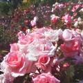 5月のローズヒルの薔薇@緑町公園