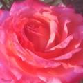 初夏の薔薇 ビッキー バックVicki Buck@ばら公園
