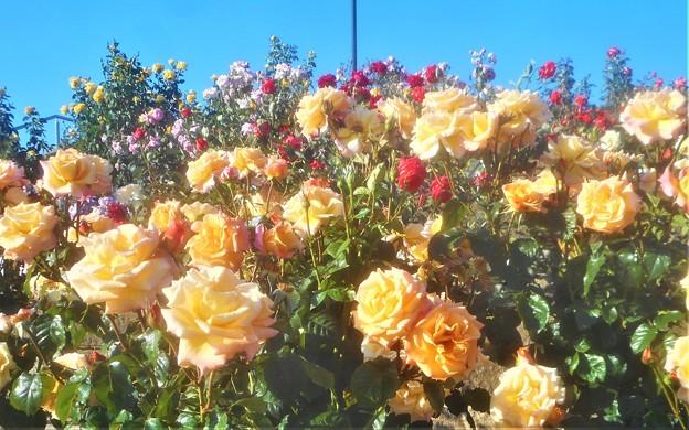 """5月のローズヒルに咲く薔薇 """"モナ リザ"""" など@緑町公園"""