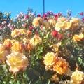 """Photos: 5月のローズヒルに咲く薔薇 """"モナ リザ"""" など@緑町公園"""