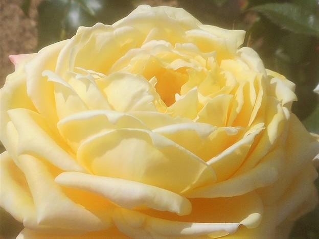 """ローズヒルの薔薇 """"トロピカル シャーベット""""@緑町公園"""