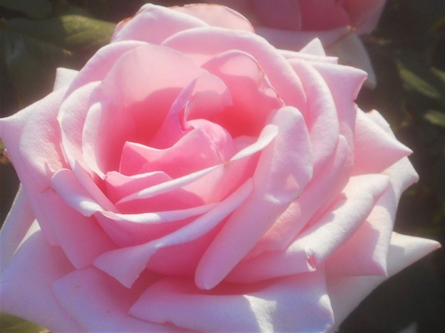 """初夏に咲く薔薇 """"オードリー ヘップバーン""""@ばら公園"""