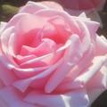 """Photos: 初夏に咲く薔薇 """"オードリー ヘップバーン""""@ばら公園"""