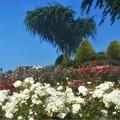 """初夏に咲く """"エーデルワイス"""" の白い薔薇など@緑町公園"""