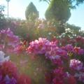 """5月のローズヒルの薔薇 """"エドガー ドガ"""" など@緑町公園"""