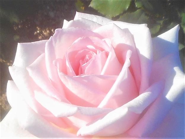 """新緑の薔薇 """"ストリューム""""@緑町公園"""