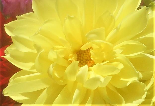 初夏の黄色いダリア@世羅高原農場