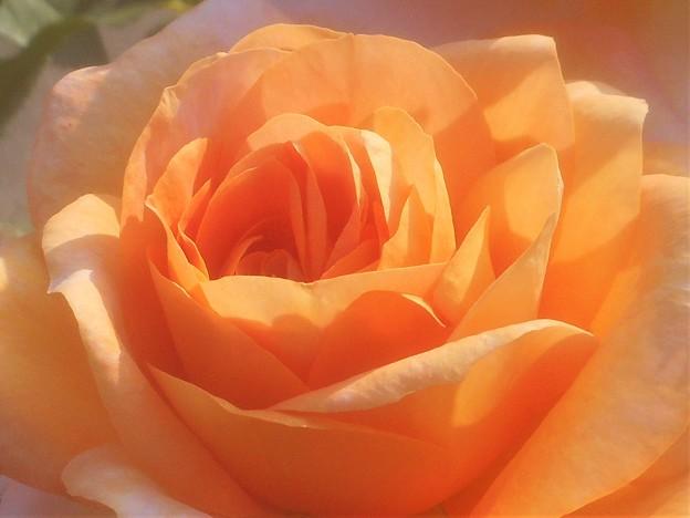 ばら公園に咲く薔薇@福山ばら祭2019