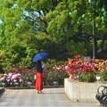 初夏のローズヒルの薔薇@緑町公園