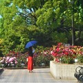 Photos: 初夏のローズヒルの薔薇@緑町公園