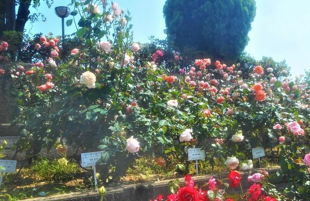 """初夏の薔薇 """"ロマンティック エンゼル""""など@緑町公園ローズヒル"""