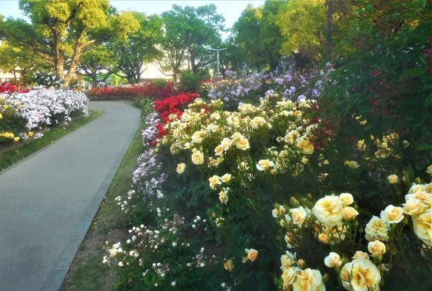 ばら公園は花盛り@ばら祭2019