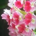 Photos: 梅雨入り近し バーベナ咲く