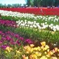 爽やか初夏のチューリップ畑@世羅高原農場