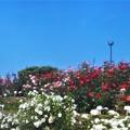 """Photos: ローズヒルの白い薔薇 """"エーデルワイス""""など@緑町公園"""