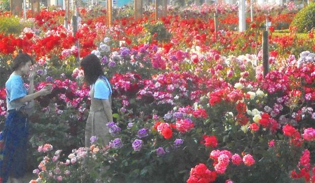 色とりどりに咲き乱れる@初夏のばら公園