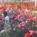 Photos: 色とりどりに咲き乱れる@初夏のばら公園
