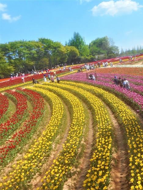 のどかな花風景@世羅高原@チューリップ畑