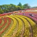 Photos: のどかな花風景@世羅高原@チューリップ畑