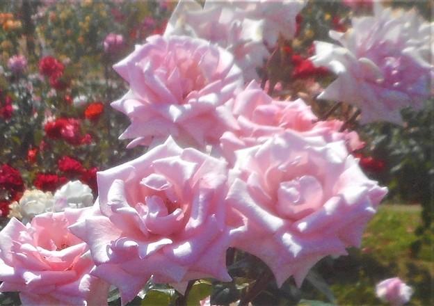 ローズヒルの甘い薔薇@緑町公園