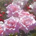 Photos: ローズヒルの甘い薔薇@緑町公園