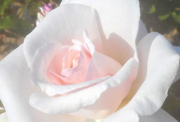 """初夏の薔薇 """"ミス ヒロシマ""""@緑町公園"""