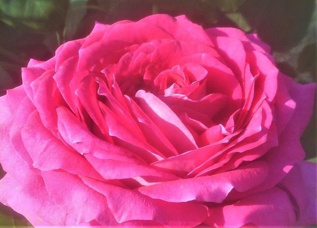 """新緑の薔薇 """"ヒロシマ フレンドシップ""""@緑町公園"""