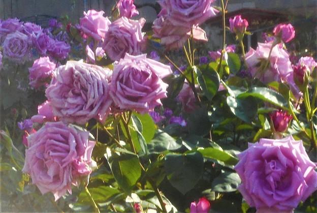 """五月の薔薇 """"福山城""""@ばら公園"""