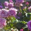 "Photos: 五月の薔薇 ""福山城""@ばら公園"