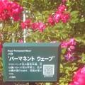 """Photos: 詳細はQRコードで@初夏に咲く薔薇 """"パーマネント ウェーブ"""""""