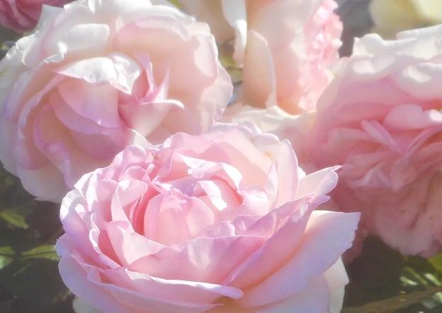 """初夏の薔薇 """"ピエール ドゥ ロンサール""""@中央公園@ばら祭"""