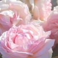 "Photos: 初夏の薔薇 ""ピエール ドゥ ロンサール""@中央公園@ばら祭"