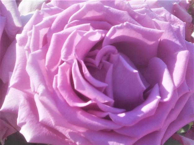 """備後路の薔薇 """"福山城""""@中央公園@福山ばら祭"""