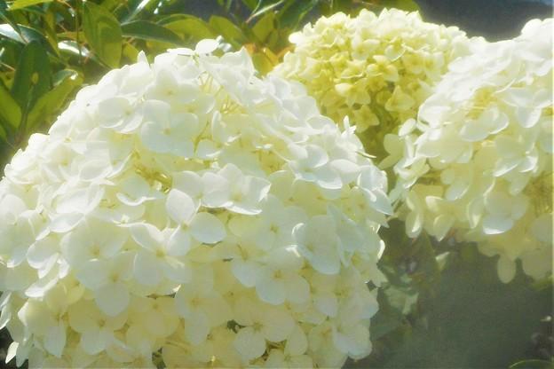生垣の アナベルの花@三原城址周辺